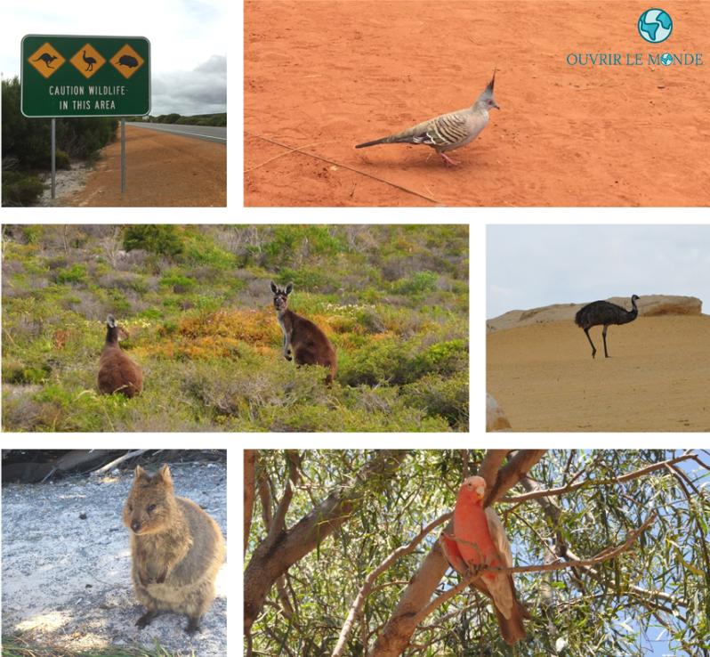 Animaux sauvages australiens - Séjour en Australie CEI (copyrignt @Annabelle Dupé)