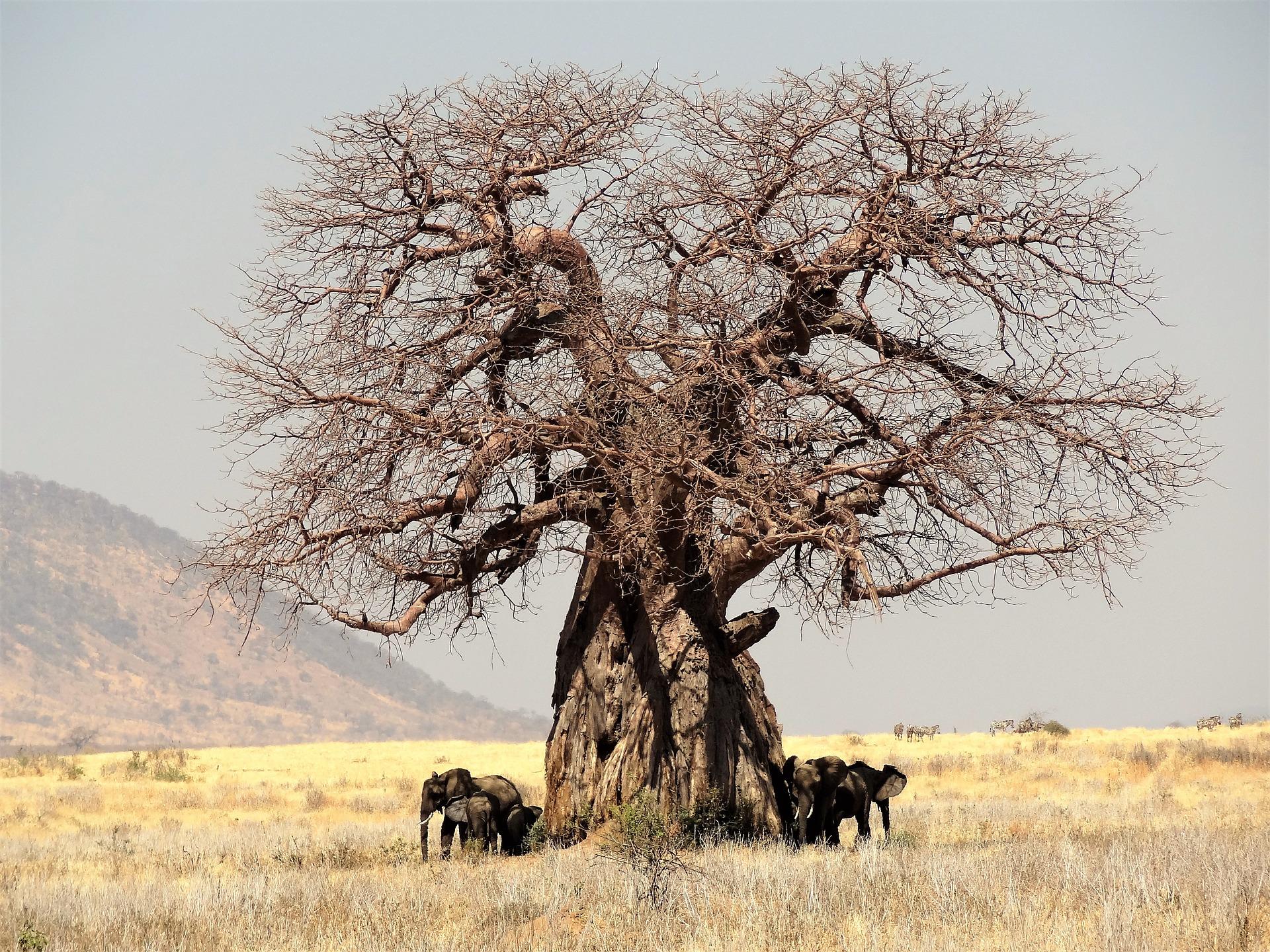 Séjour en Tanzanie-Baobab et éléphants en Tanzanie
