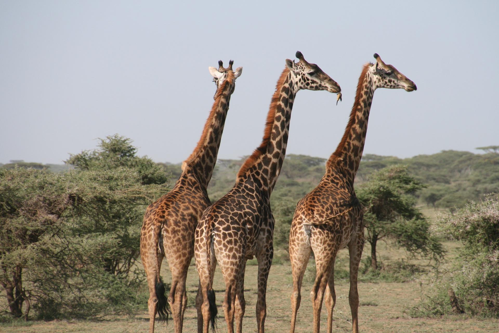 Séjour en Tanzanie-Girafes dans le Serengeti