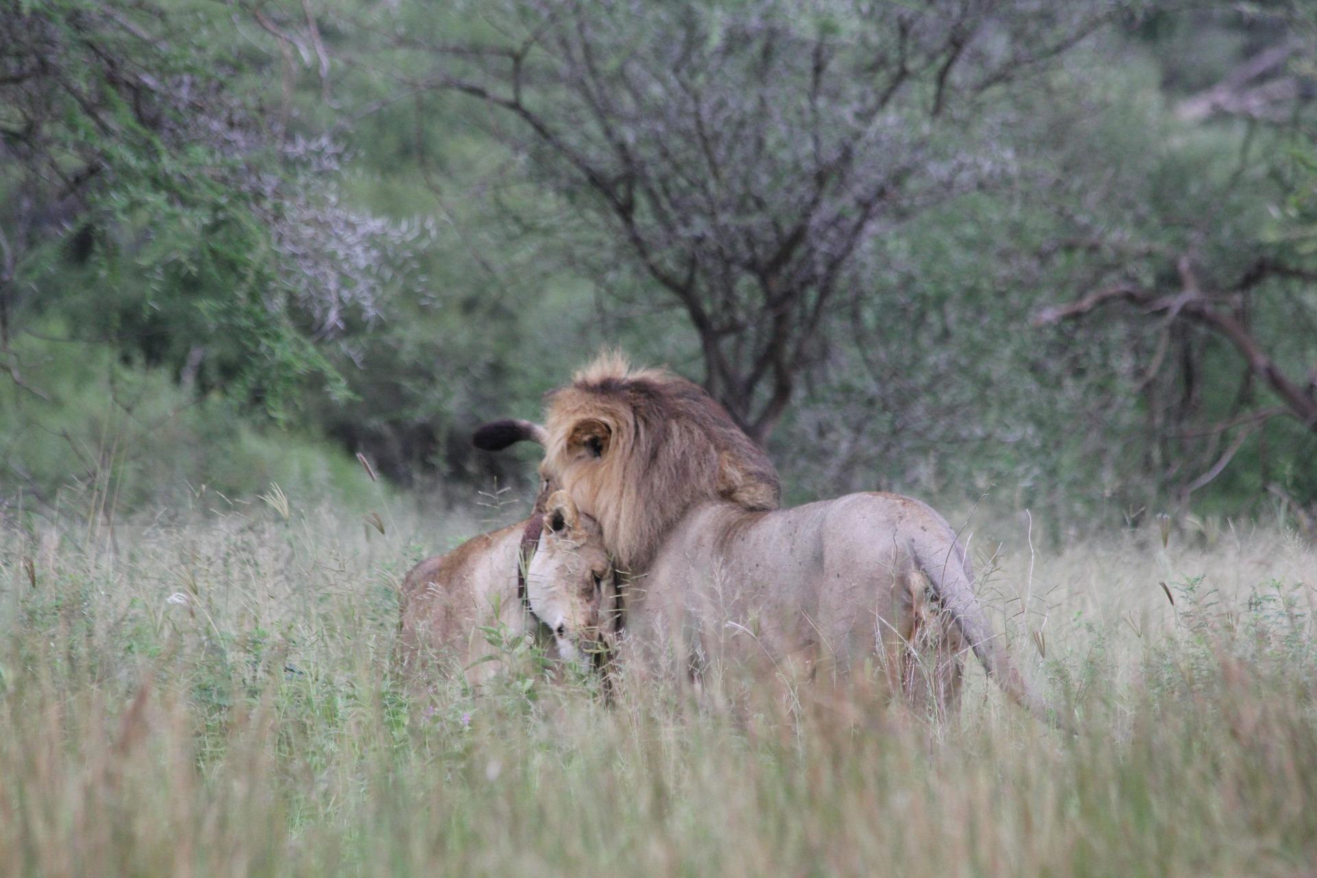 Séjour en Tanzanie-Couple de lions en Tanzanie