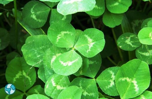irlande trefle trois feuille