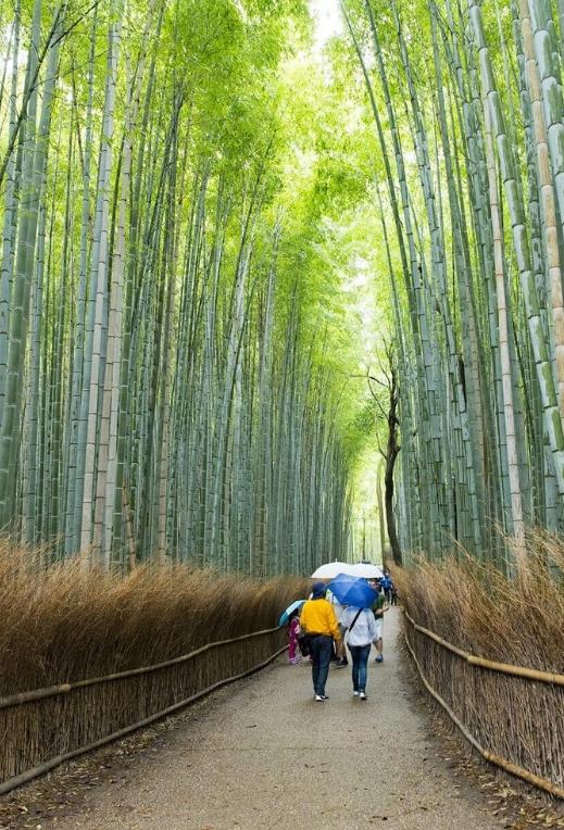 foret bambou arashiyama japon kyoto